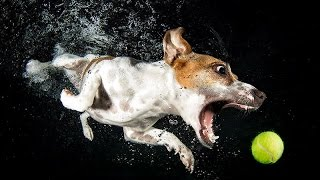 Собака плавает за мячиком