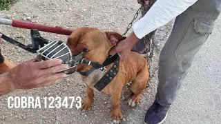 كلب البيتبول بعد ان عض شخصين قرر صاحبه الاستغناء عنه مع جمال العمواسي