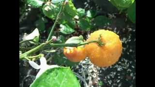 Citrus medica Citrus reticulata  uprawa doniczkowa. Kwitnienie i owocowanie w róznych stadiach