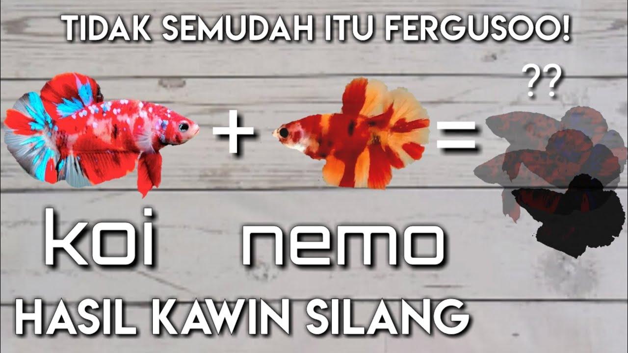 Hasil Kawin Silang Cupang Nemo Dengan Cupang Koi Ternyata Youtube
