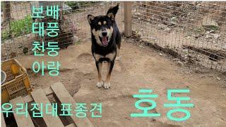 블랙탄진돗개 대표종견(호동).보배.태풍.천둥.아랑^^K…