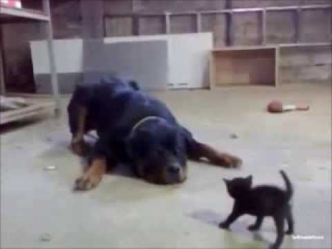 Little Cat vs. Big Dog