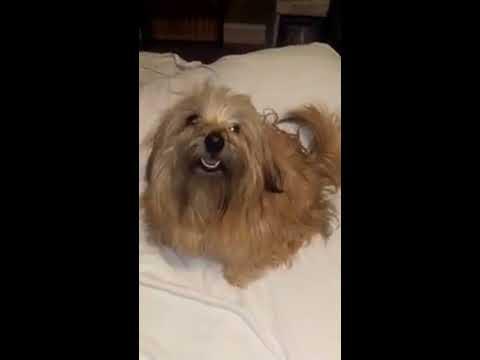 NoBuL WELCOMES her siblings! Norfolk Terrier!