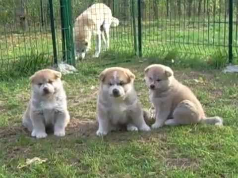 Akita Inu Puppies For Sale 3 Male And 1 Female Youtube