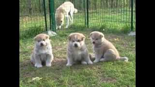 Akita Inu Puppies For Sale 3 Male And 1 Female