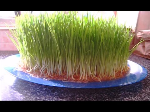 Soil Less Wheat Sprouts, The Easy Method