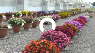 Cottage Farms Color Jubilee SunPatiens Collection on QVC
