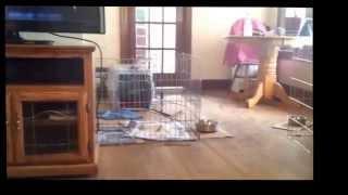7-week-old Westie Puppies