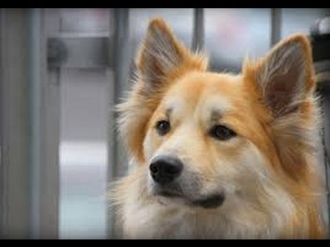 Icelandic Sheepdog / Dog Breed