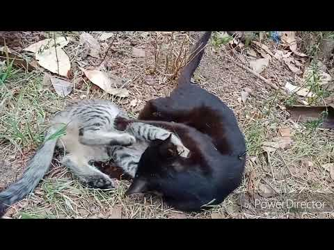 Rusty spotted kitten playing with mom cat
