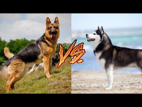 Немецкая овчарка против Сибирский хаски. Siberian Husky Vs German Shepherd