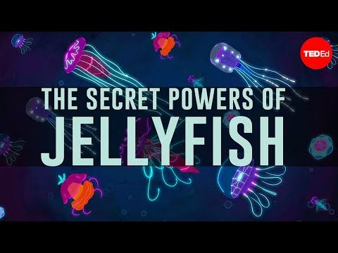 Video image: Jellyfish predate dinosaurs. How have they survived so long? - David Gruber