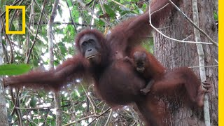 Nearly 150,000 Orangutans Lost to Logging, Palm Oil, and Human Conflict   National Geographic