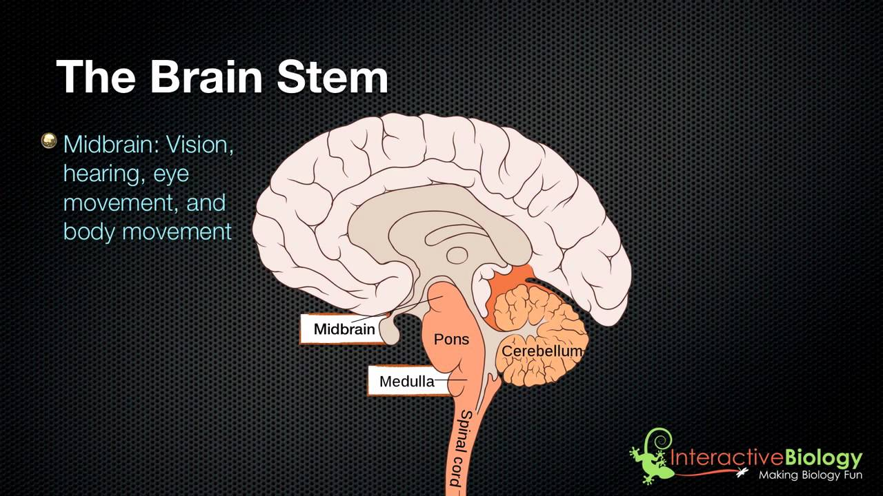 027 The 3 parts of the brain stem and their functions - YouTube