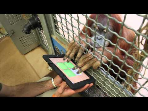 Toronto Zoo Sumatran Orangutans Join The iPad Generation!