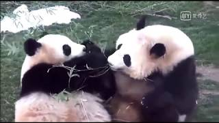 Panda Fighting For Food (FUNNY)