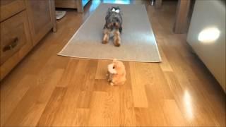 Pies Kontra Gadający Chomik Śmieszne Zwierzęta