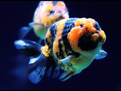 Tiger Ranchu Goldfish