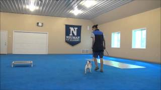 Lucky (jack Russell Terrier) Boot Camp Dog Training Video