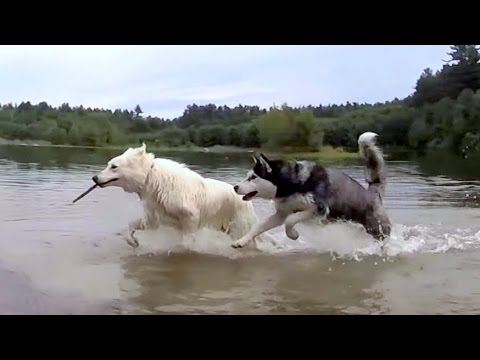 Cute Siberian Husky Steal a Stick From a White German Shepherd