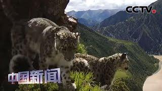 [中国新闻] 青海:三江源准确定位255个雪豹具体位点 | CCTV中文国际
