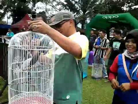 Lomba Burung kicau Palopo
