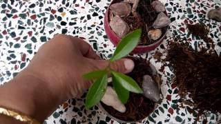 99 -  How to grow mini bonsai tree (Java plum/Jamun) Hindi/Urdu - 30/7/16