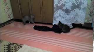 Кошачье дзюдо удушающий прием коты kittens funny game(В селе родились два красивых котенка Васька и Борька .Было интересно наблюдать за их развитием и игрой..., 2015-03-27T19:54:19.000Z)