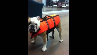 Barkley Our Bulldog Is Afraid Of His Life Vest
