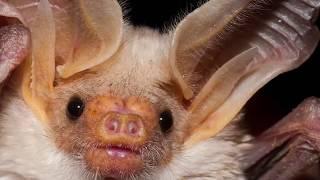 Интересные факты - Летучие мыши
