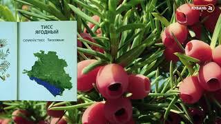 «Красная книга Кубани». Тис ягодный
