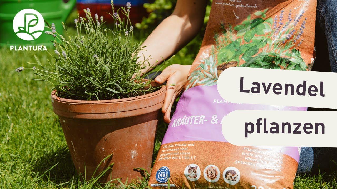 Lavendel Anpflanzen Richtiger Standort Geeignete Erde Youtube