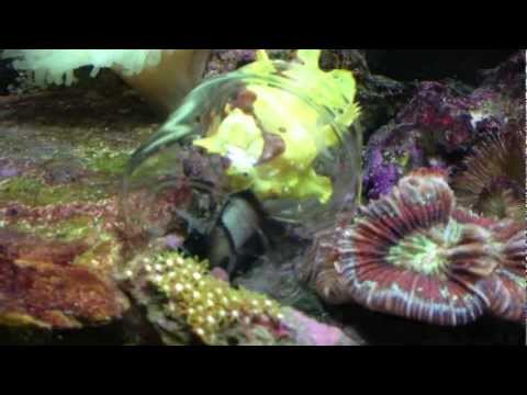 Angler Fish (Jeffery) Eating A Damsel