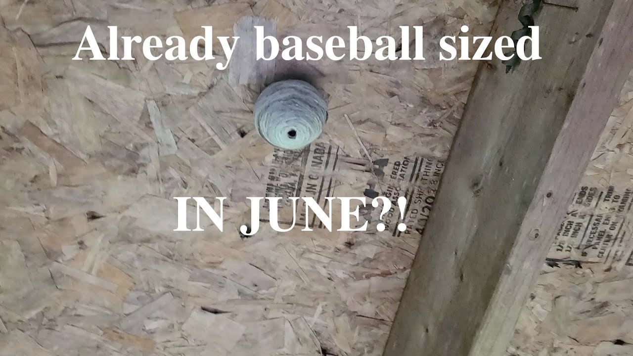 Yellow Jacket wasp nest the size of a baseball IN JUNE?!