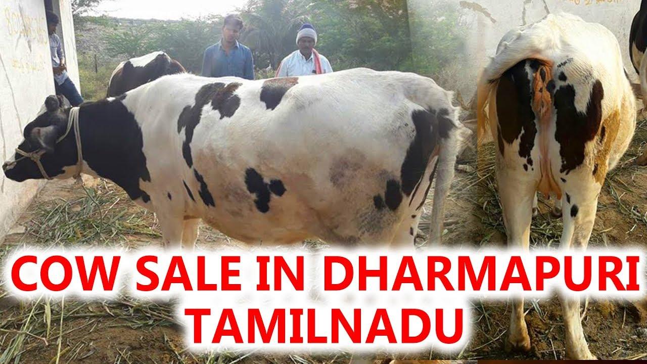 Cow for Sale|Cow sale in dharmapuri tamilnadu Sabarish Sp  8526281913(12/12/2017)