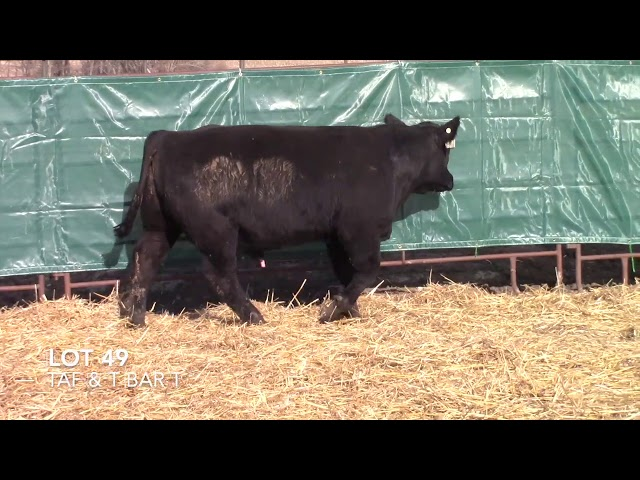T Bar T and Taliaferro Angus Lot 49