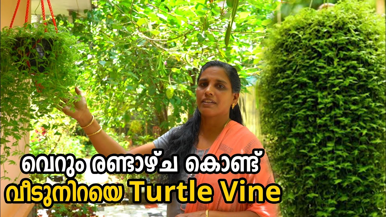 Turtle Vine Care & Gardening Tips in Malayalam | Fast Growing Hanging Plants