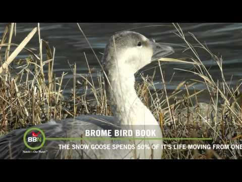 BBN   Brome Bird News Episode 107 Tatsiana Visits Snow Geese