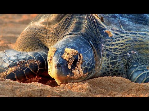 A Hunting Ban Is Finally Helping Green Sea Turtles Thrive