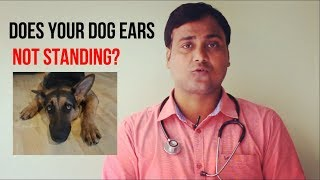 Does your dog ears not standing? Suggestions and Cure (Hindi)