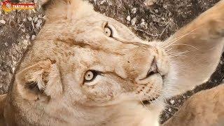 УРА! Мы в Тайгане! Лола говорушка, Гек в загуле, а у Малыша претензии к Чуку. Life of lions. Taigan.