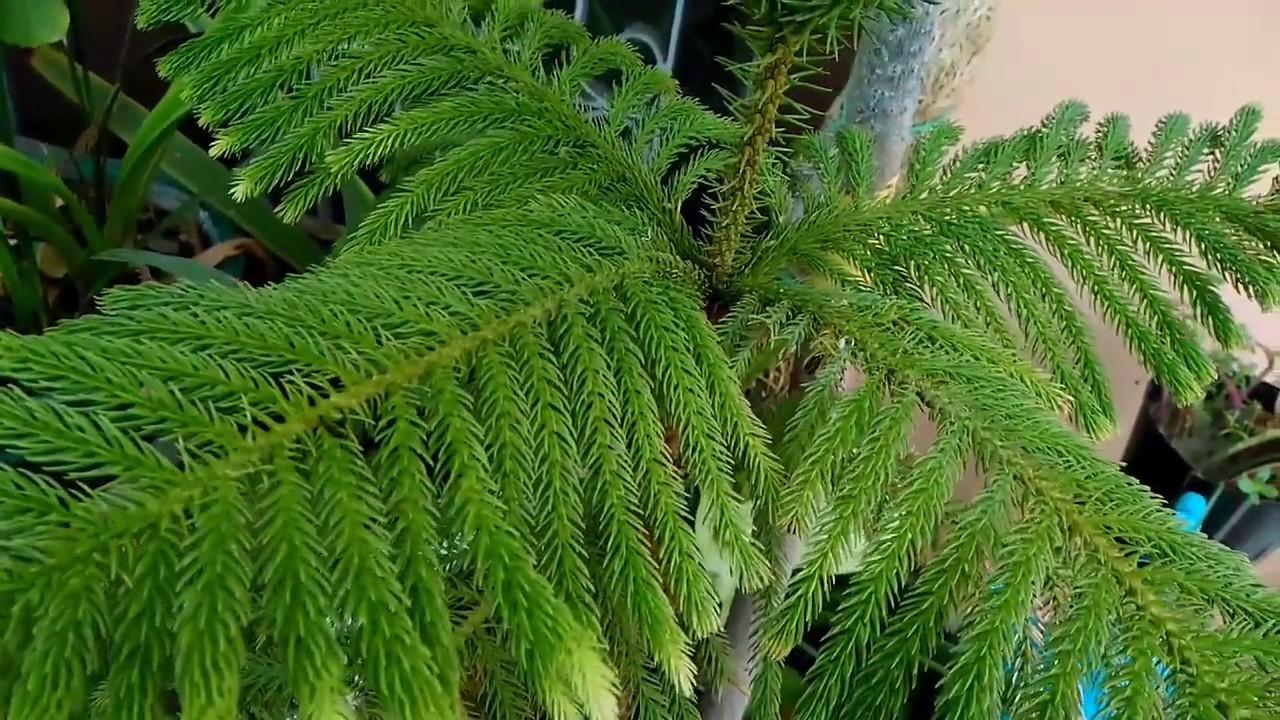 Araucaria Christmas Tree इसस अपन ब ग च क