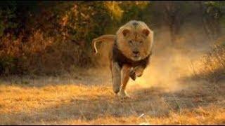 Regarder Ce Que le lion va faire a vous de voir !!!