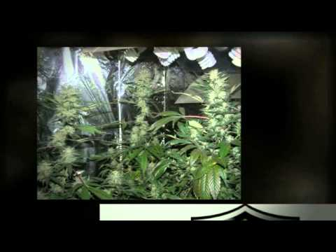 CFL Grow Lights in The Flower Cycle! Canna Growing With Just CFL's