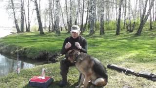 Как чистить уши собаке #гигиеническаячистка Самостоятельно!