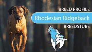 Rhodesian Ridgeback Breed, Temperament & Training