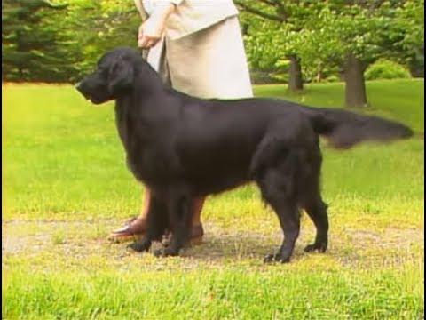 Flat Coated Retriever - フラットコーテッド・レトリーバー - AKC Dog breed series