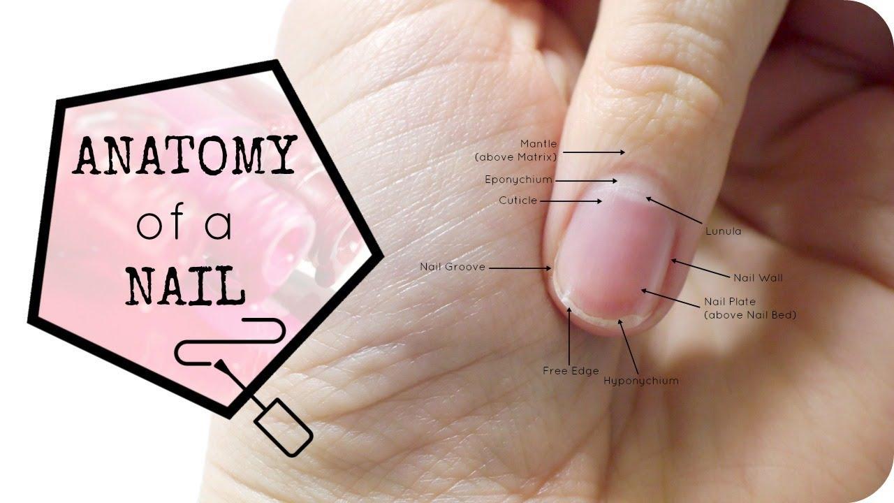 Anatomy Of The Nail Youtube