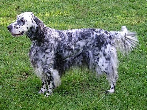 English Setter - Dog Breed