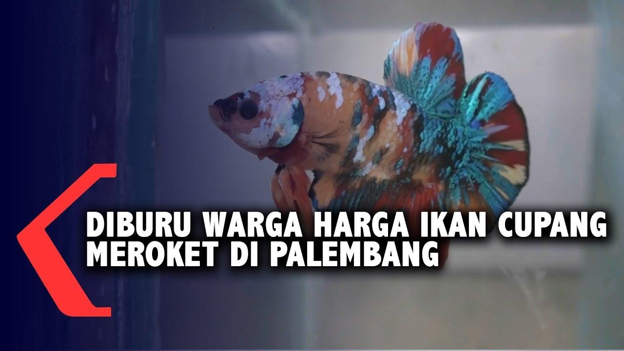 Diburu Warga Harga Ikan Cupang Meroket Di Palembang Youtube